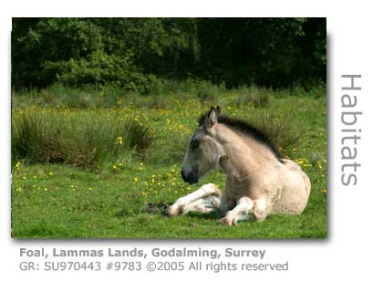 FOAL ON LAMMAS LANDS GODALMING