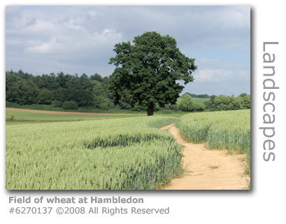 Field of wheat near Hambledon, Surrey
