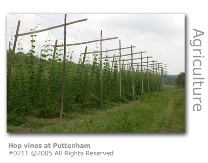 Hop vines at Puttenham