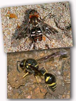 Potter Wasp and Mottled Bee-fly