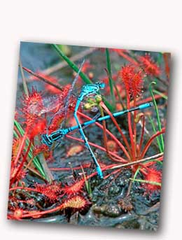 Oblong-leaved Sundew