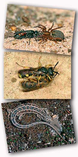 Spider Wasp, Solitary Wasp and Sand Lizard
